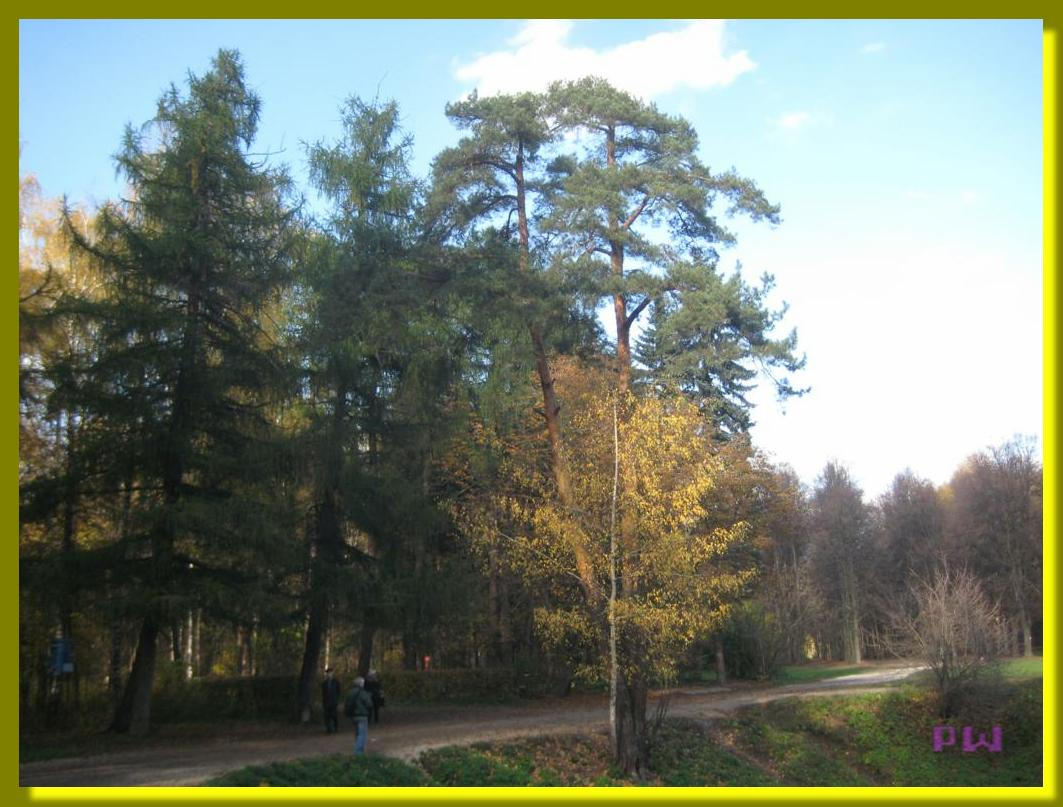 Усадьба Кусково - прогулка по осеннему парку - вековые сосны