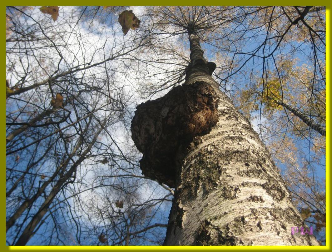 Усадьба Кусково - прогулка по осеннему парку и удивительные наросты на берёзе 2