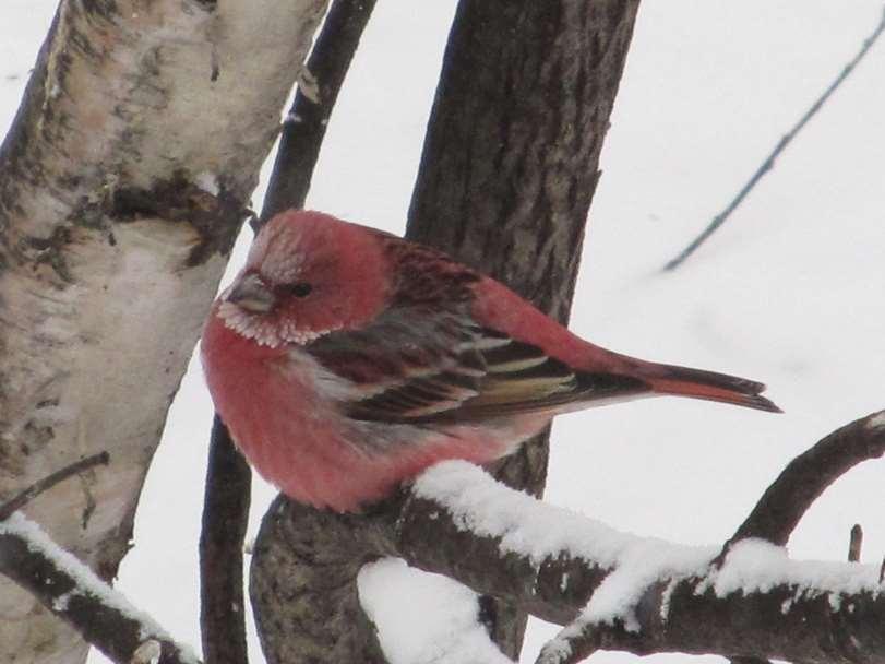 Зима в Приамурье и птицы