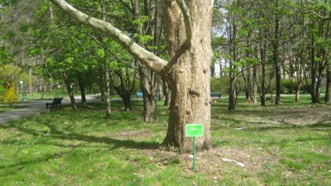 Sanatorii Arhipo-Osipovka. Platan