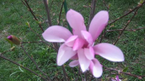 magnolij