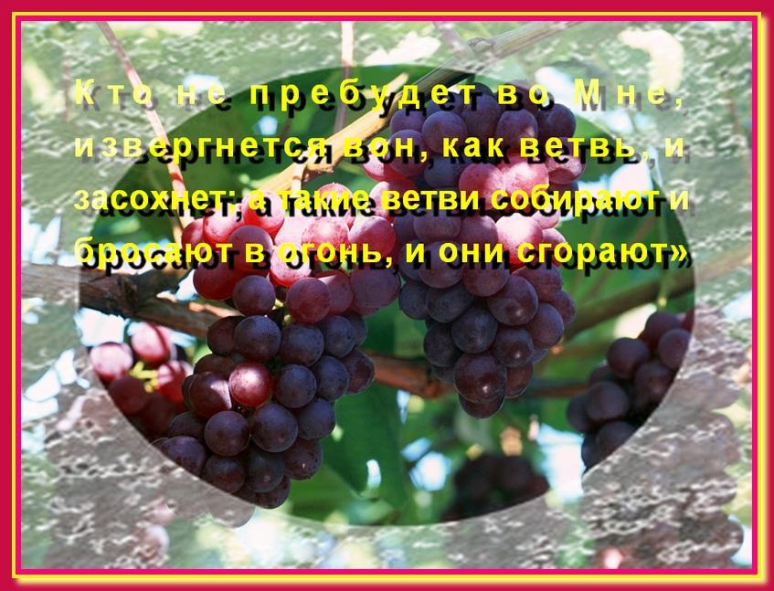 Доброе семя. Лоза виноградная животворящая