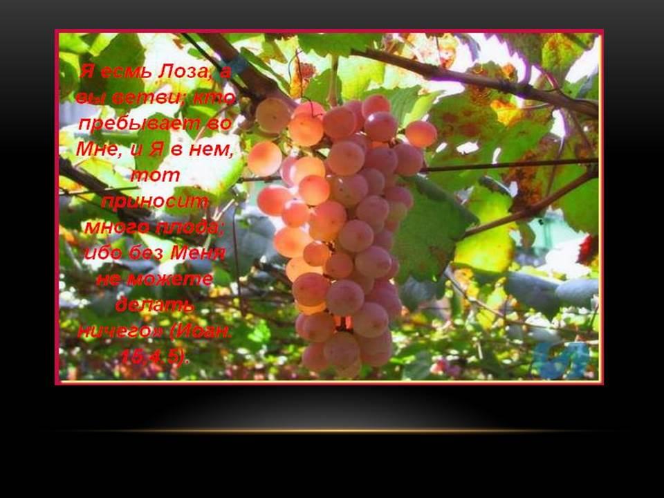 Доброе семя. Виноградная лоза