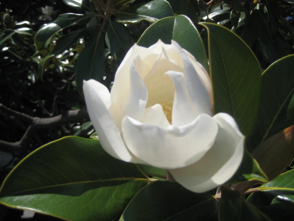 Ялта, магнолия цветёт