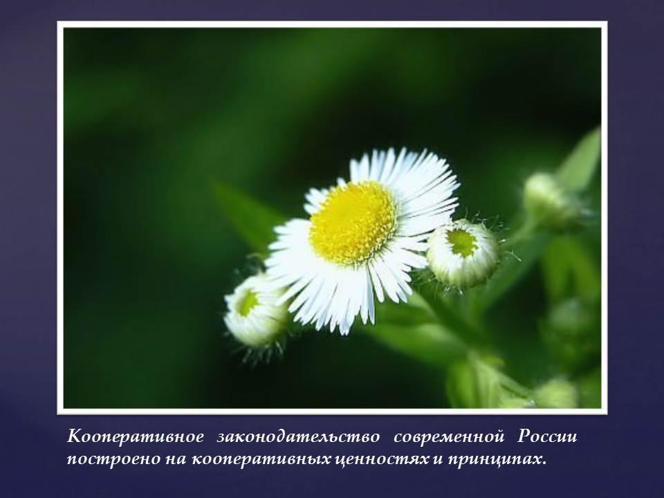 Кооперативное законодательство современной России построено на кооперативных ценностях и принципах.