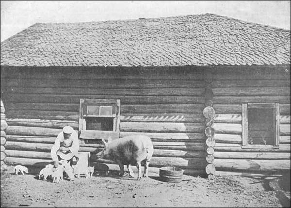 Артельщики стали скармливать обрат свиньям