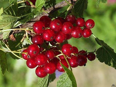 Смородина красная доступна для сбора потребительским кооперативам