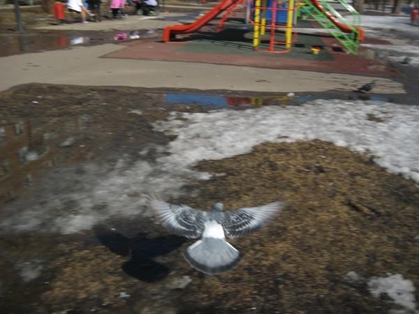 Внук (2 года) на д. площадке гоняет голубей