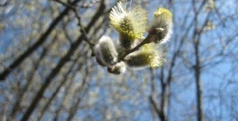 Весна торопиться к нам в первых цветах